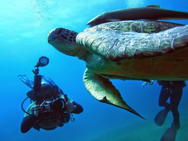 żółwie pod wodą w Egipcie