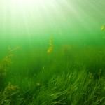 podwodna łąka